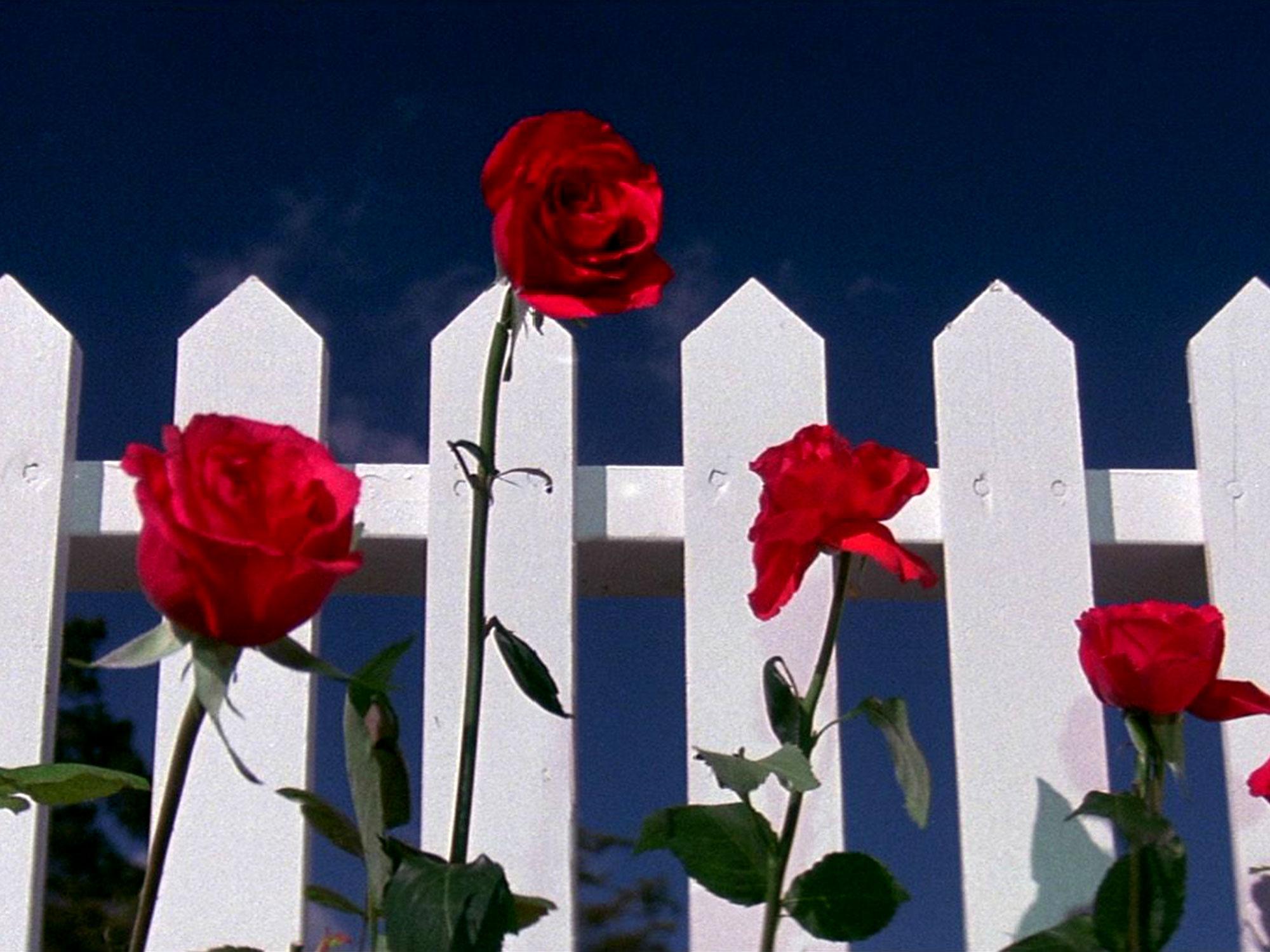 Blue Velvet red roses
